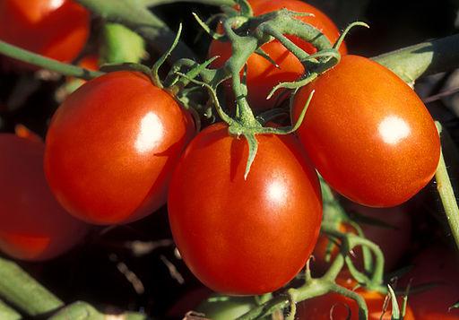 512px-ARS_Ohio_processing_tomato