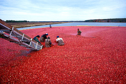 The United States cranberry crop this year is forecast to come in at 8.41 million barrels, up slightly from 2014, but below that of 2013, according to the USDA National Agricultural Statistics Service (NASS).