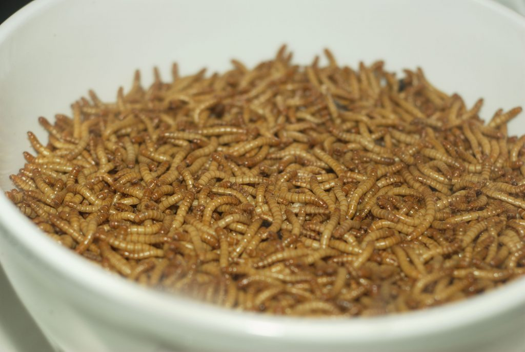 Insects with high potential for food use in the EU: house flies, mealworms, crickets and silkworms