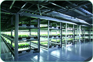 """Capable of supplying 30,000 heads of lettuce a day, Japanes company Spread says its 4,800m2 'large-scale vegetable factory' will be """"fully automated from seeding to harvest."""""""
