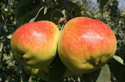 Turkey is the second biggest producer of apples in Europe behind Poland. Turkey's diverse geographic regions allow for production of 460 varieties of apples, but only 10 of these are marketed commercially.