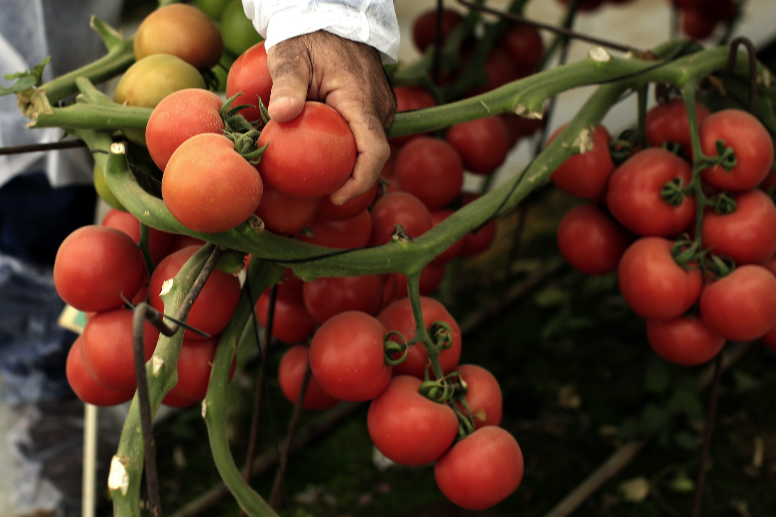 In 2014, 43% of all the volume of tomatoes exported from Turkey went to Russia (336,000 tons).
