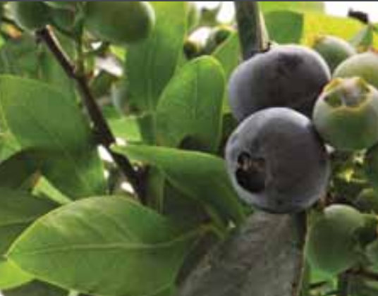 Although the US and the EU are the most valuable export destinations, the ABC (Argentinian Blueberry Committee) is currently working alongside national organisations to open up new Asian markets.