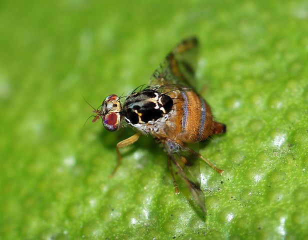 Medfly(Ceratitis capitata)is not known to be established in the US, except for Hawaii, andwould pose a serious threat to US agriculture.