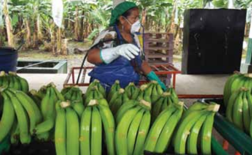 Asian consumers really like Ecuadorian bananas, which is why the country's exporters forecast that these quantities will be repeated for 2015 and 2016, or even increased slightly up to 17 million boxes.