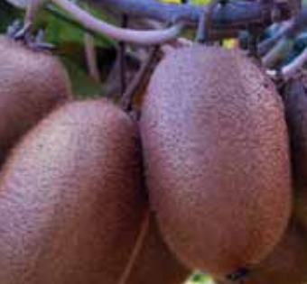 MERIS, the new green kiwifruit variety, will be revealed at the Fruit Logistica trade fair in Berlin at the SUMMERFRUIT stand, Hall 4.2 - C 05.