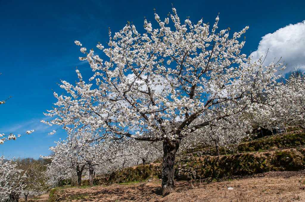 Jerte farmers are planting new cherry orchards that should allow a potential harvest of 24,000 tons are over the next 4 years.