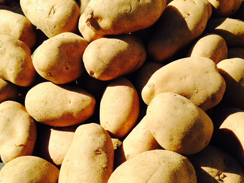 Early (or rather first early) potatoes make up around 23% of the Italian total and are mainly grown in the south of the country. Sicily, with over 7300 ha, grows 50% of the crop, followed by Campania with 20%, Apulia with over 12% and Sardinia with 9%.