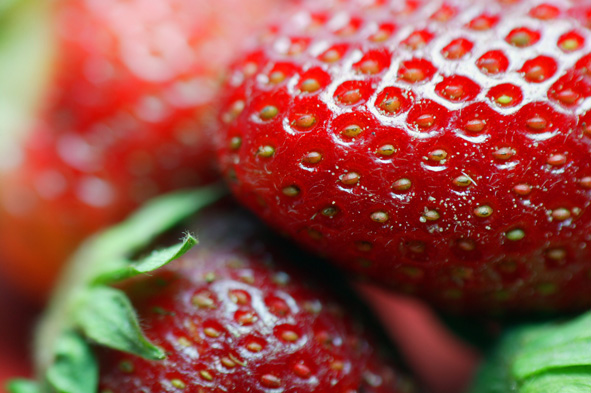 Whereas in 2005, there were 230 ha used for covered strawberry production in the Netherlands, this steadily grew over the years to 280 ha in 2015, an increase of 48%