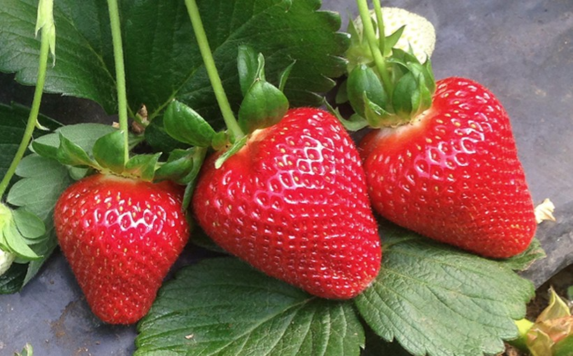 From Italy's CIV strawberry breeding programme comes the Flavia variety, which is particularly suited for integrated and organic cultivation and is attracting growing interest for the Flaviapvr variety in Spain.