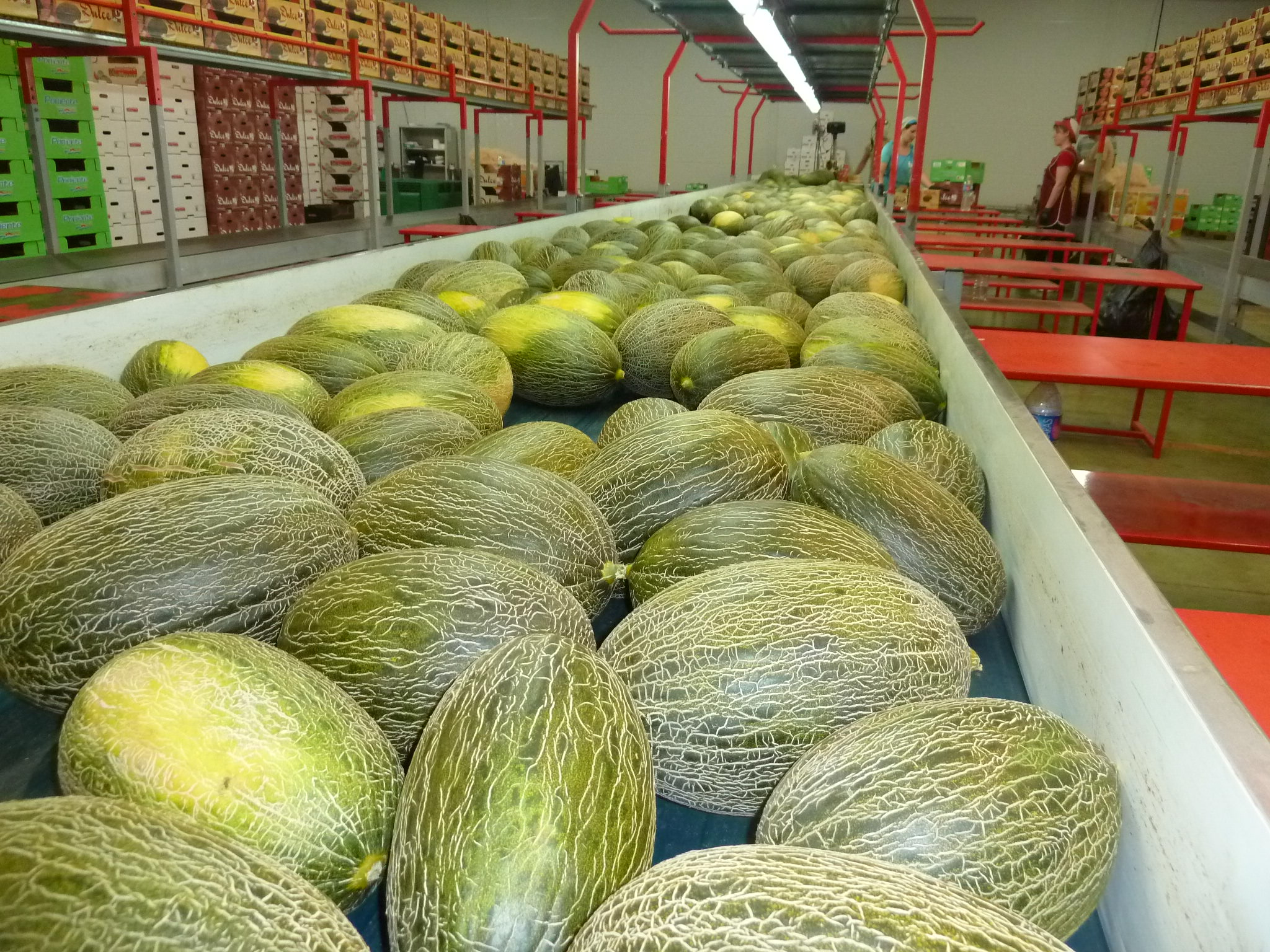 Once again this year, Vegacañada's Christmas melons will be reaching the markets under the prestigious 'Dulce de Vega' brand, which also represents its black and white watermelons, both traditional and seedless, as well as the Fashion watermelon, the prestigious brand that the company trades as a member of the Fashion Group Association (AGF).