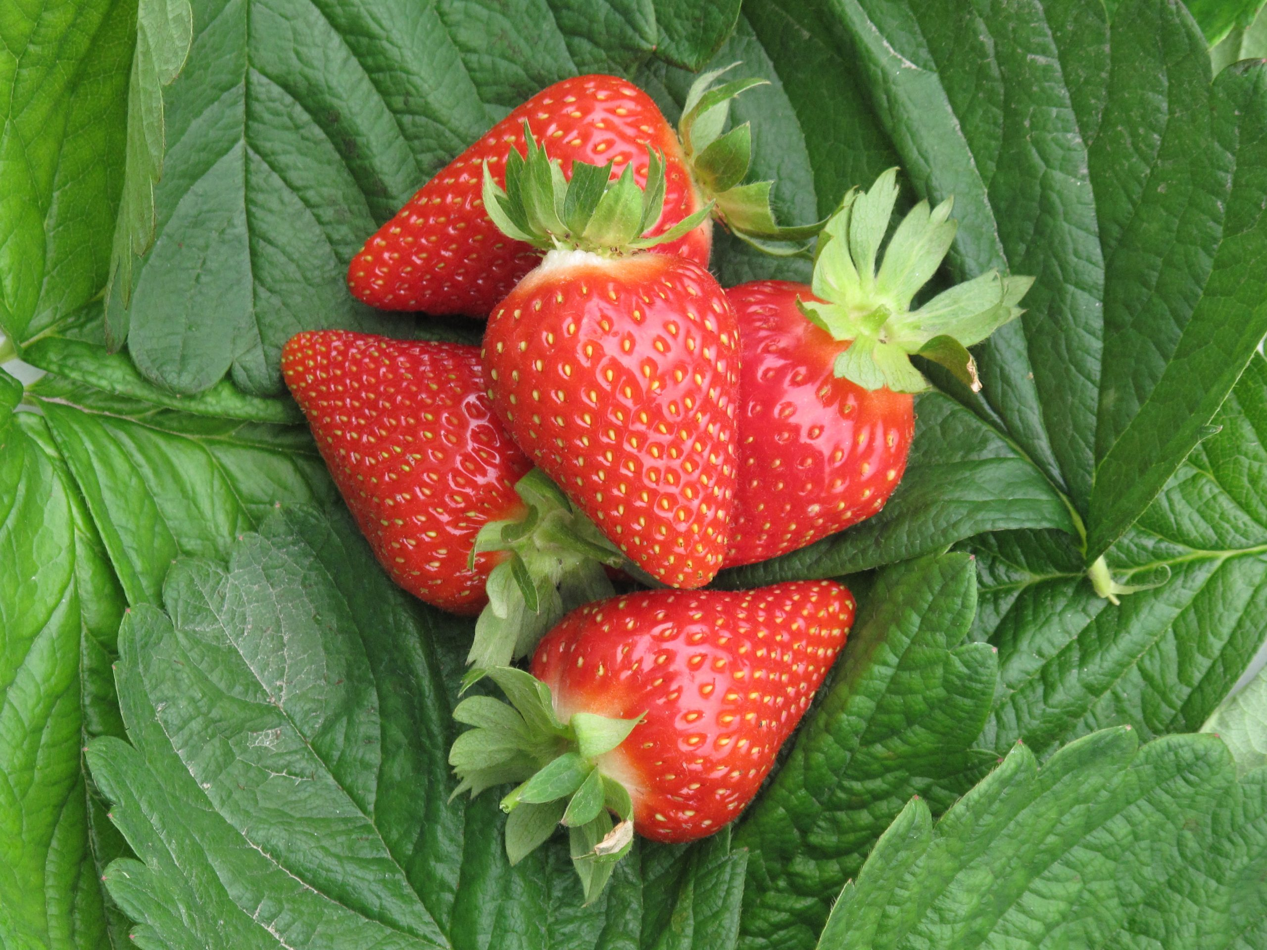 """President Pier Filippo Tagliani said the CIV's chief objective is to increasingly target its R&D towards the development of environmentally sustainable, high quality strawberry varieties that """"satisfy every player in the supply chain, from the producer to the end user, at international level."""""""