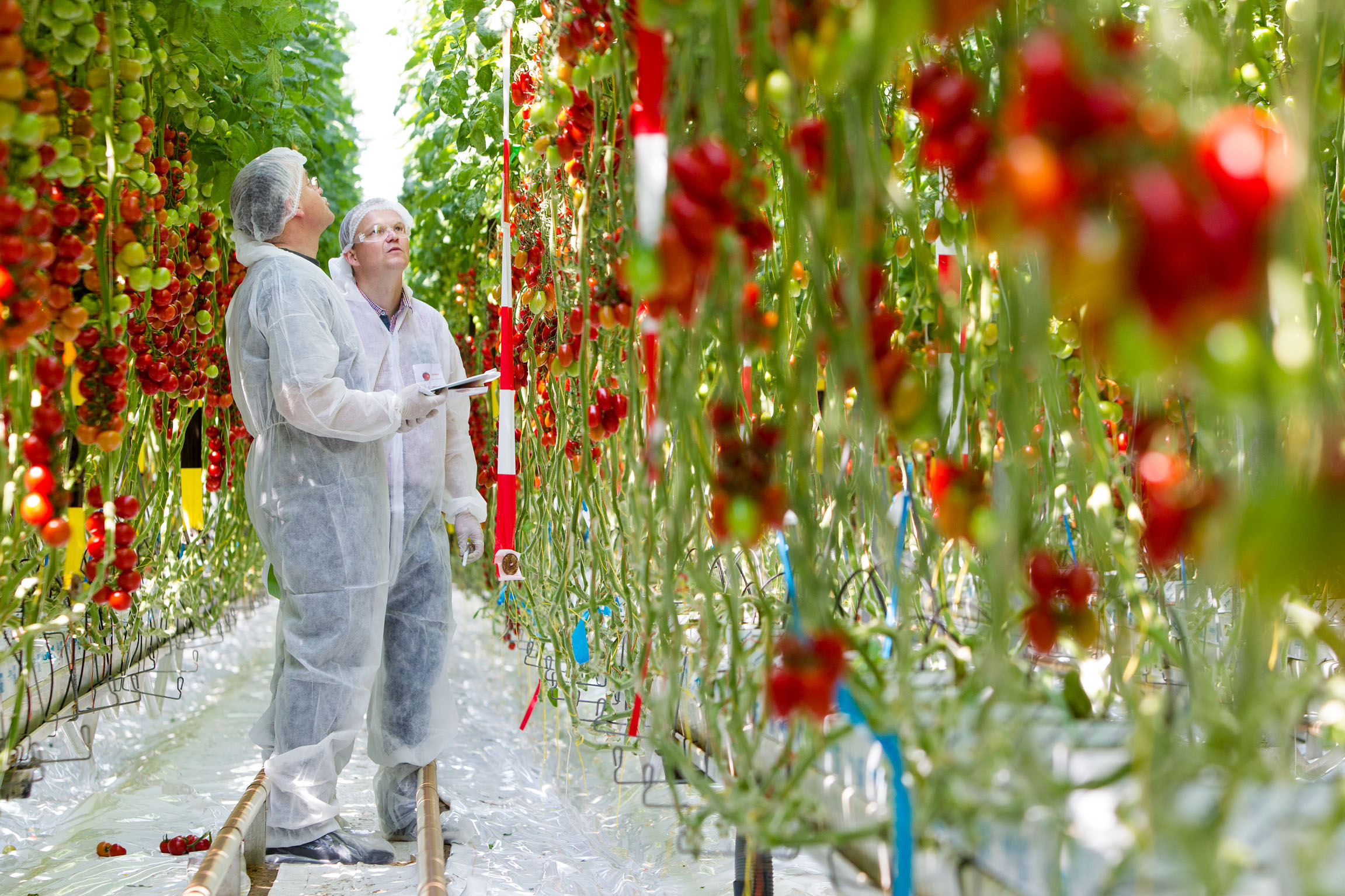 During the open day on June 3 in its Tomato Experience Centre in 's-Gravenzande, De Ruiter Seeds showed its visitors as many as 350 different tomato varieties, mostly De Ruiter Seeds varieties.