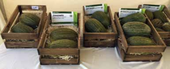 In the watermelon category, particularly for seedless types, research is focusing on adjusting the sizes to obtain smaller fruit and on a definite improvement in eating quality.