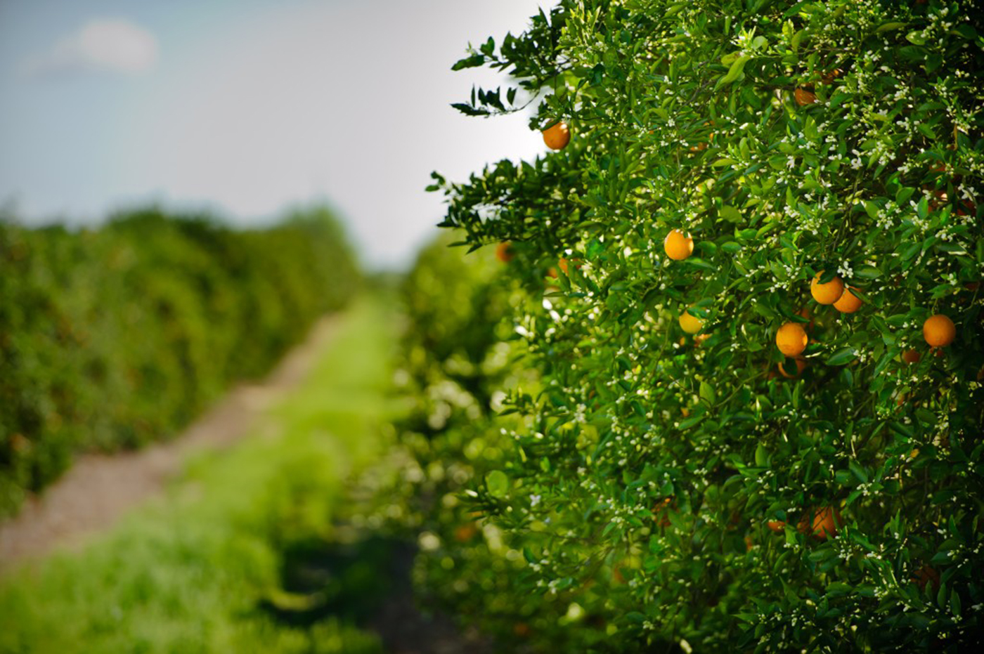 """Florida Citrus Commission chairman and Lake Wales citrus grower Ellis Hunt welcomed the fact the forecast came in higher than initial estimates. """"I'm looking forward to the day we can see this number start rising again,"""" Hunt said."""
