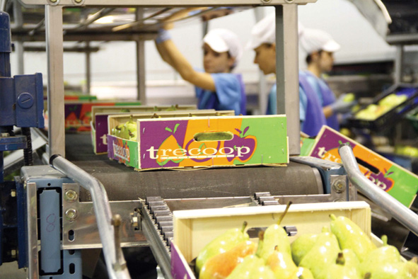 Trecoop is capable of producing 30 million kg of fruit.