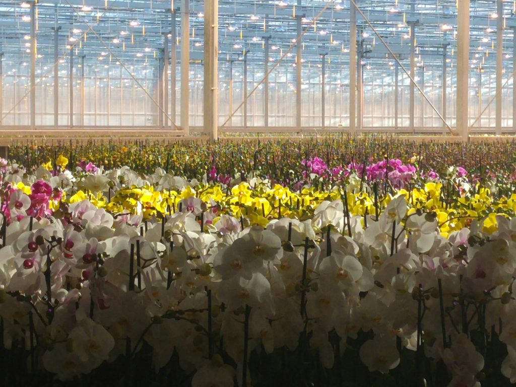 The EU Fresh Info Forum started yesterday (Nov 29) with visits to an urban farmin Rotterdam, a logistics distribution centre (Hillfresh, built 7 years ago, 7,000 palet capacity) and an orchid farm (9ha of glasshouse, 70,000 plants a week) that are all at the cutting edge in their field of activity.