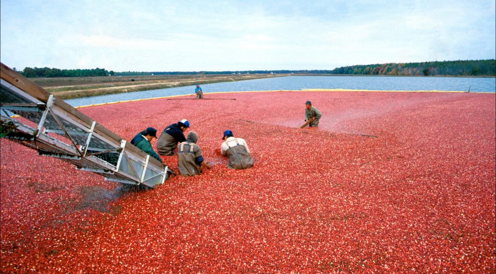America's cranberry farmers are in the homestretch of the harvest in what looks to be another banner year for US cranberry production, reports the USDA Foreign Agricultural Service.