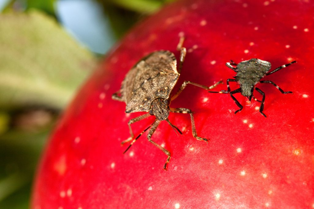 Farmers in northern Italy are said to be worried about the proliferation of the brown marmorated stink bug (Halyomorpha halys) in Veneto and Friuli-Venezia Giuliam. The crops most at risk are apples, pears, kiwi fruit, grapes, soya beans and maize, according to Italian MEP Mara Bizzotto.
