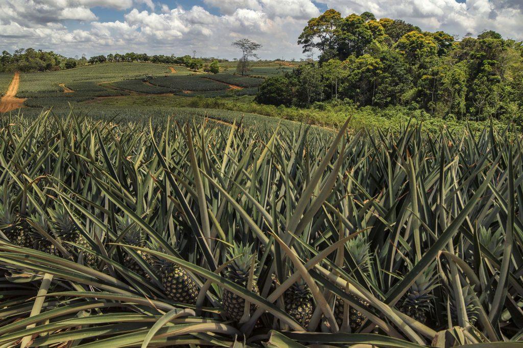 AMERICA TROPICAL pinneaple costa rica UPALA1