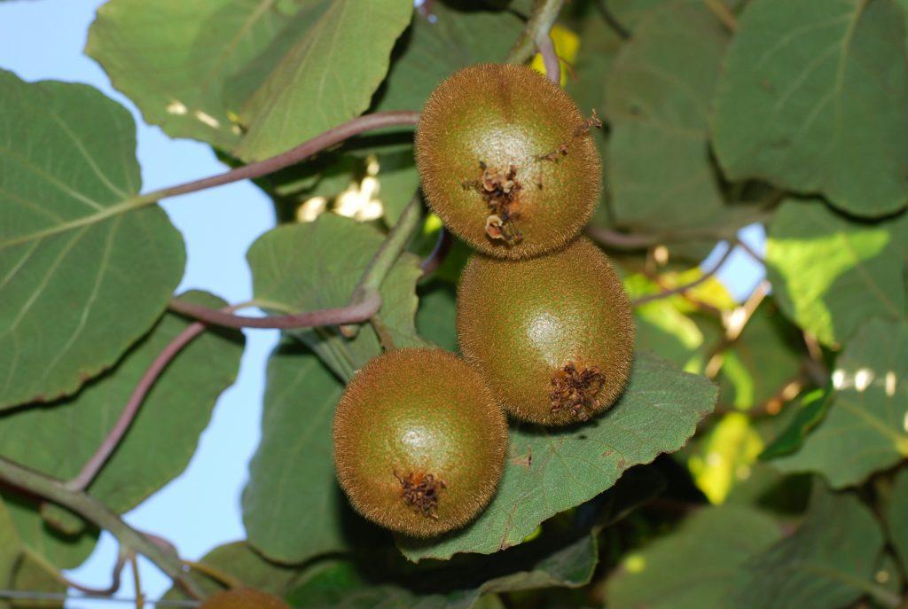 121market kiwi1