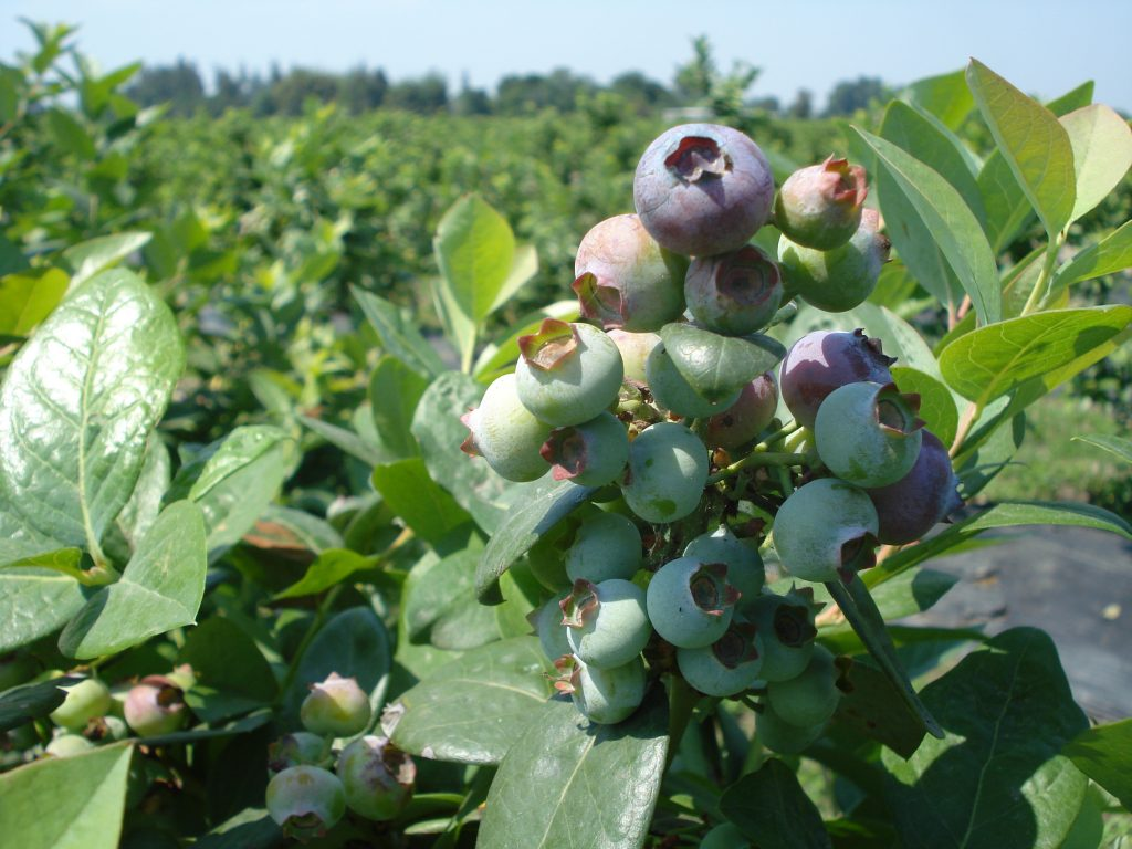BERRIES argentina EARLY CROP