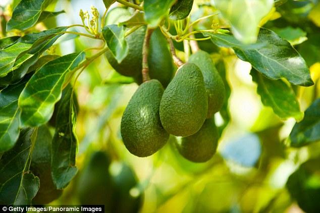 new zeland avocado