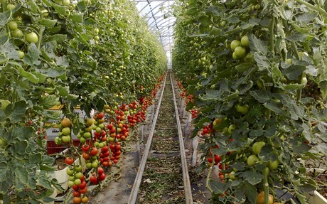 tomate canario