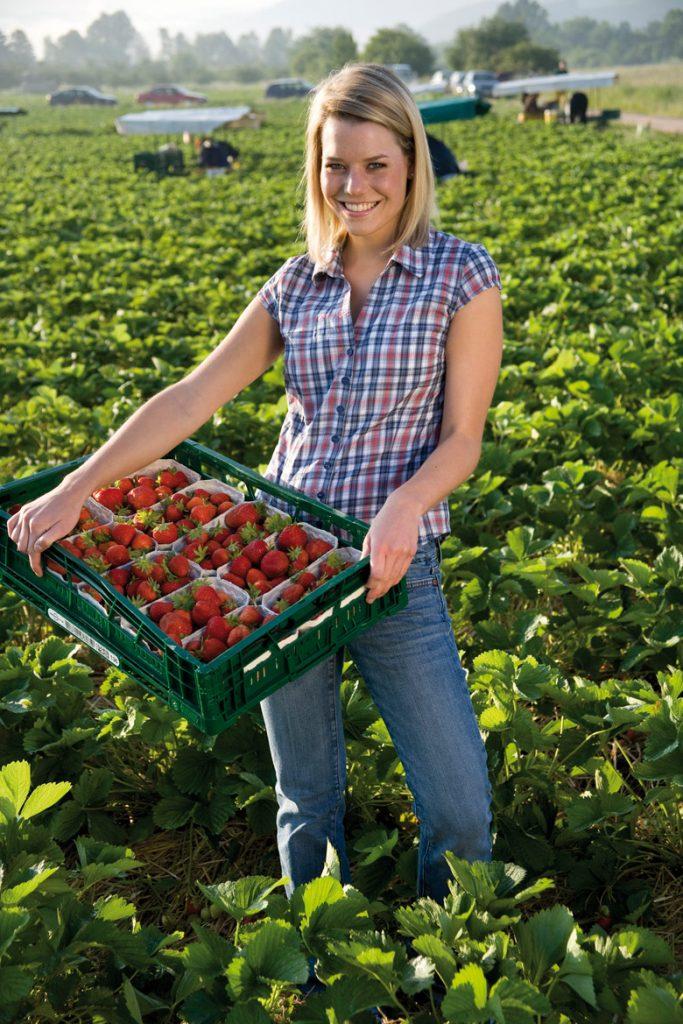 113MARKET germany BADEN _strawberries_harvest in Baden