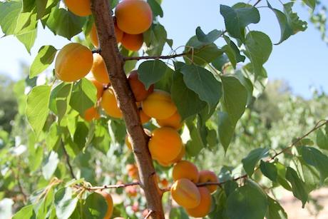 Basilicata fruta de hueso
