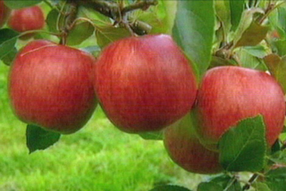 apple australia