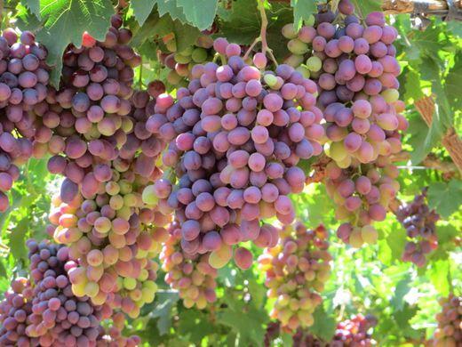 chile grapes