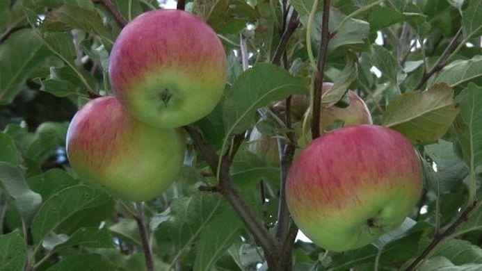 manzana alemana