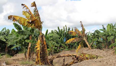banana fusarium