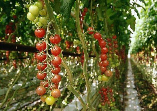 suffolk tomate