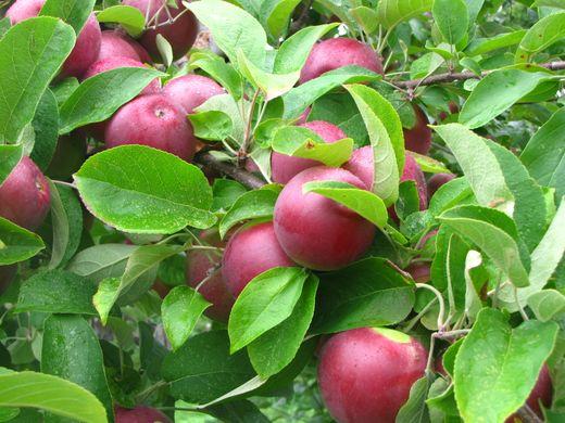 Apple netherlands