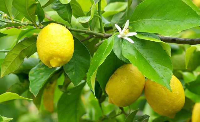 lemon chile