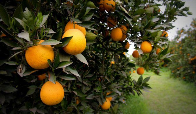 naranja brasil