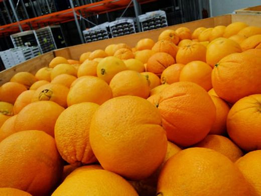citricos egipto
