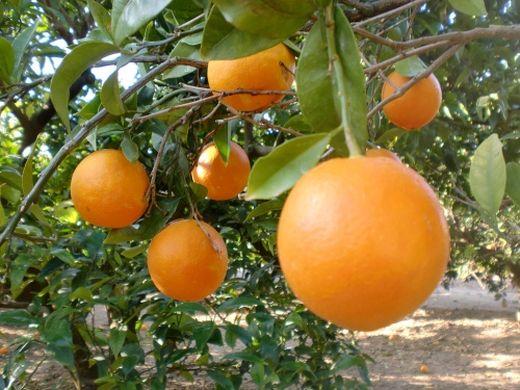 citricos spain