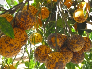 Spanish citrus exports outside the EU fall 14%