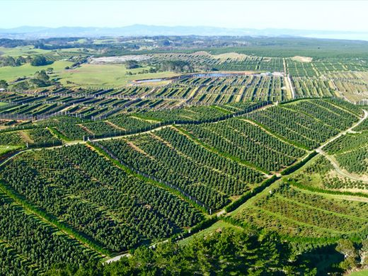 Chilean avocado producers face tough year in face of growing competition from Peru