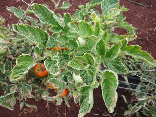 Yellow Leaf Curl Virus outbreak prompts Egypt to stop tomato exports