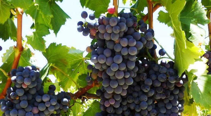 South Africa's grape production on track to recover in 2018-19