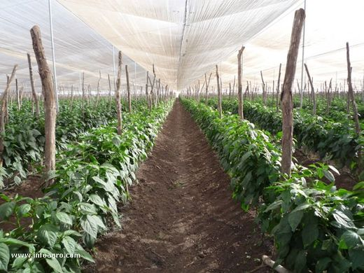 Expansion in Spanish greenhouse production of peppers and aubergine