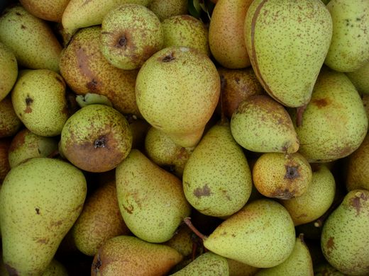 Dutch and Belgian pear sizes hit by drought