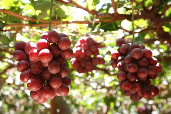 Peru's grape output to rise 7% in 2018-19