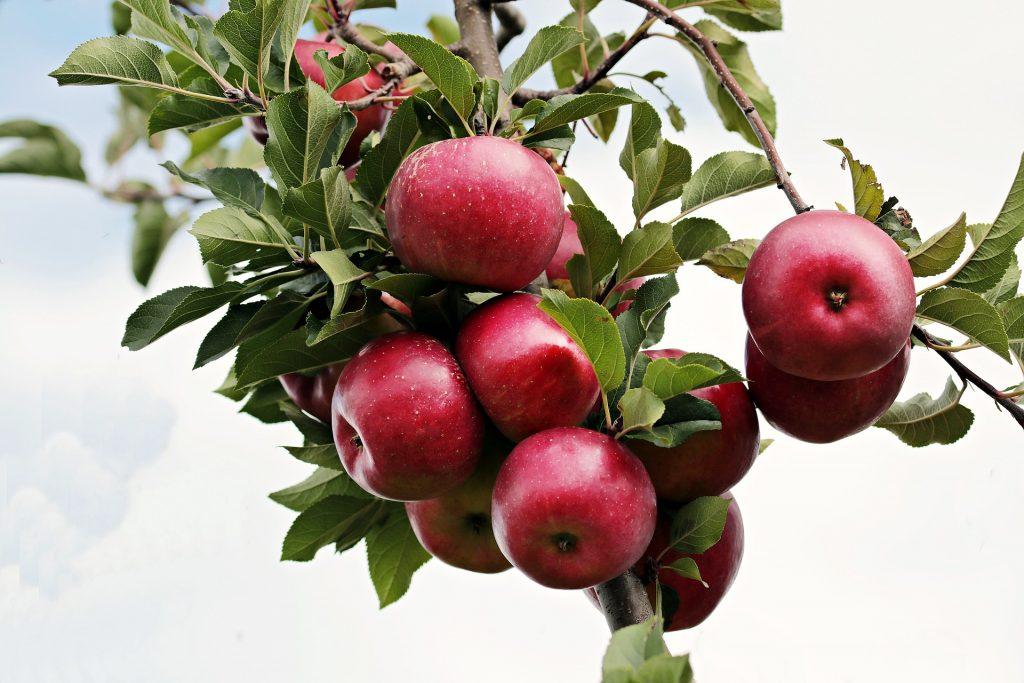 Washington's apple crop revised downwards