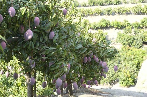 Andalusia mango harvest up 25%