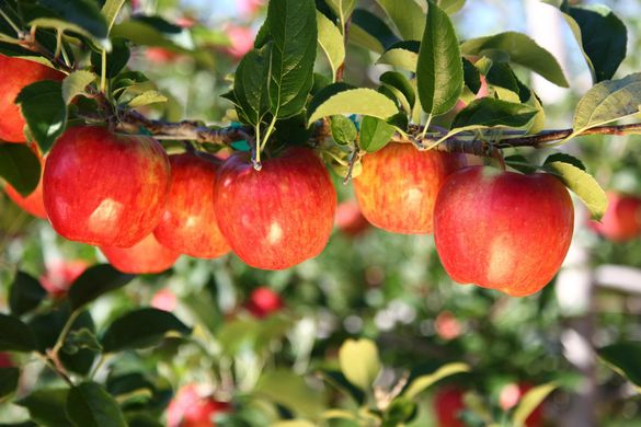 Domex Superfresh Growers with 15% of organic apples and 35% volumes on exports